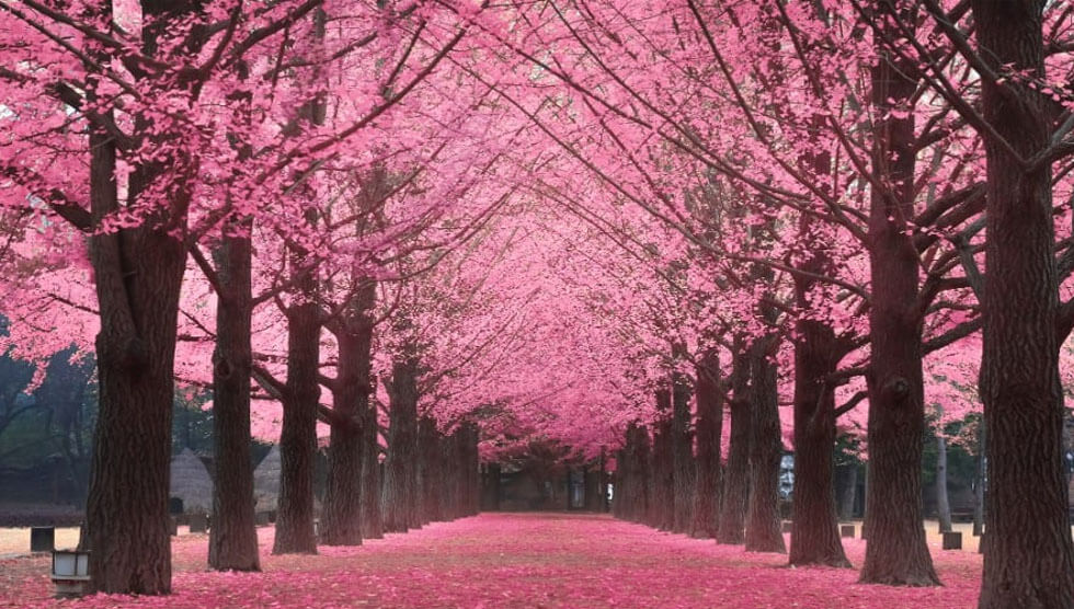 Other Than Japan, You Can See Cherry Bloom Seeing In 13 Nations!