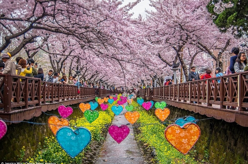 The cherry bloom Festival in South Korea